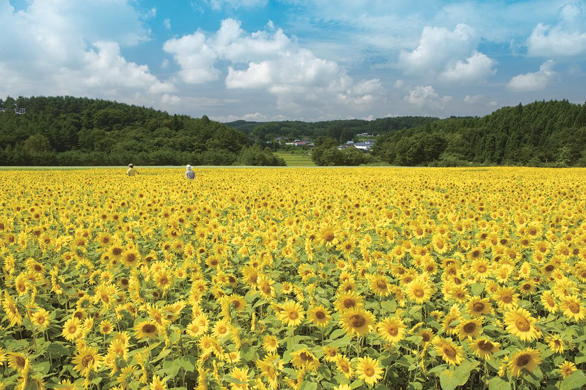 山の楽校 施設紹介 ひまわり畑